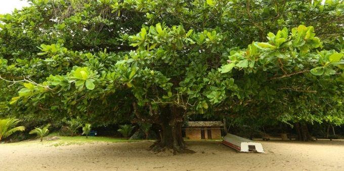 Imagem mostra árvore amendoeira, na praia do Engenho, em Angra dos Reis