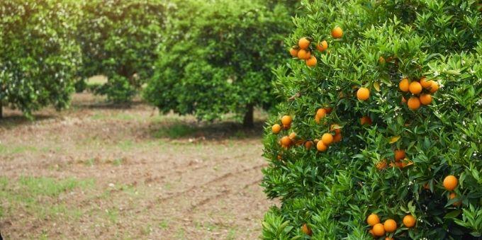 Plantação de laranjas no interior de São Paulo