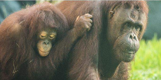Imagem macaco adulto com filhote nas costas, ilustra Pongo Pygmaeus, presentes no Zoo de Miami.